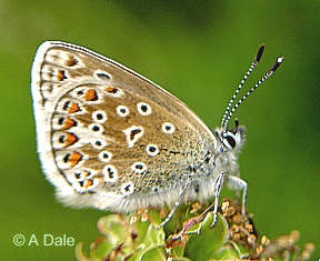 Common Blue at rest on Salad Burnet