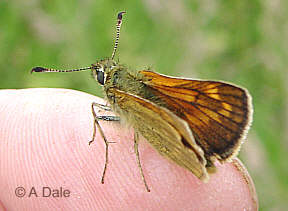 Large Skipper f