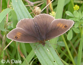 Meadow Brown m