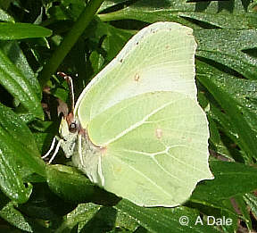 Brimstone butterfly - female