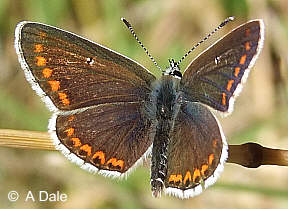 Brown Argus - male