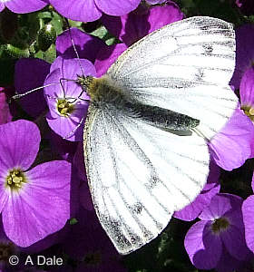 Green-veined White on Aubretia