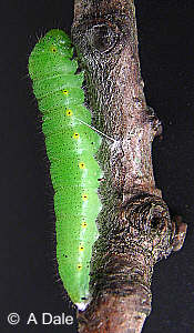 Green-veined White  caterpillar