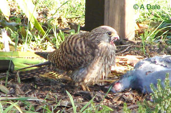 Young female kestrel  on someone else's kill