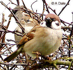 Tree Sparrow, in front of a pair of House Sparrows.