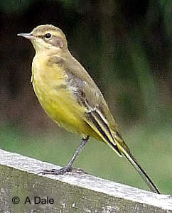 male Yellow Wagtail.