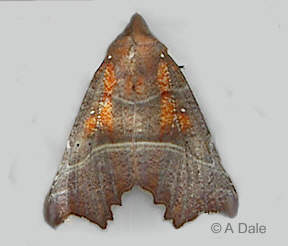 Elderly Herald moth