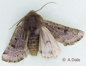 Lunar Underwing showing underwing lunar mark