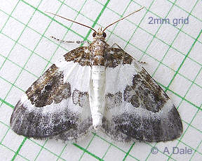 Blue-bordered Carpet moth