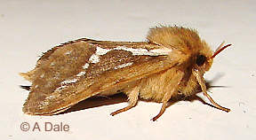 Common Swift, male