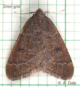 Early Moth, male