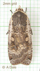 male Large Yellow Underwing