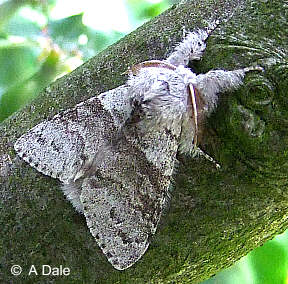 Male Pale Tussock moth