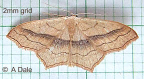 Small Bloodvein moth