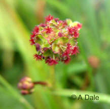 Salad Burnet - female flowers