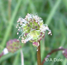 Salad Burnet - male flowers