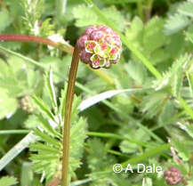 Salad Burnet - newly opened flowers