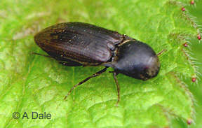 Click beetle Agriotes obscurus