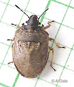 Turtle Bug, Podops inuncta