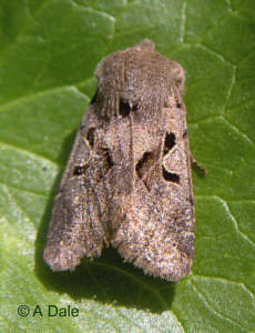 female Hebrew character moth