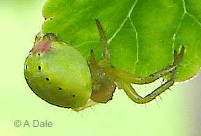 Green orb spider side view